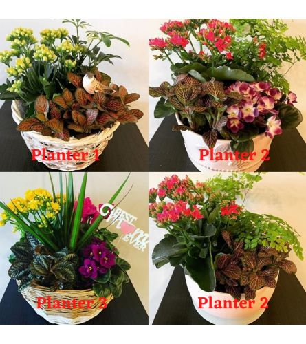 Planters Lover