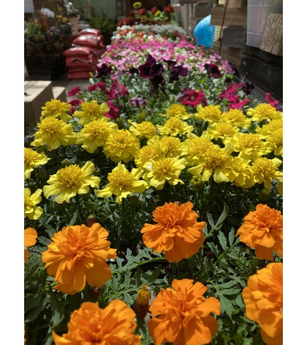 Flat of Assorted Annuals - 6 packs