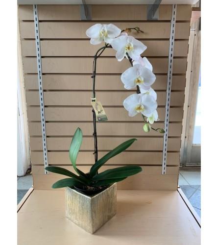 Elegant White Phaleonopsis