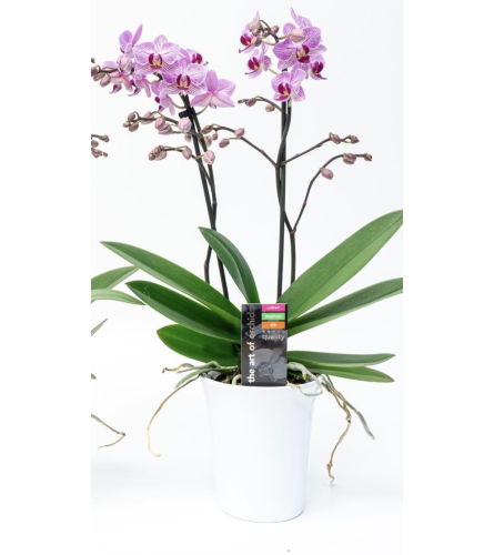 Maxima Flora Orchid Plant