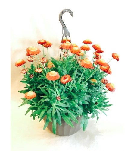 Strawflower Hanging Basket