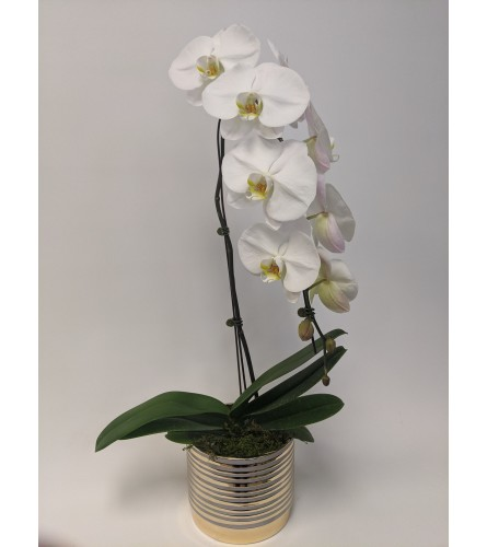 White Imperial Orchid