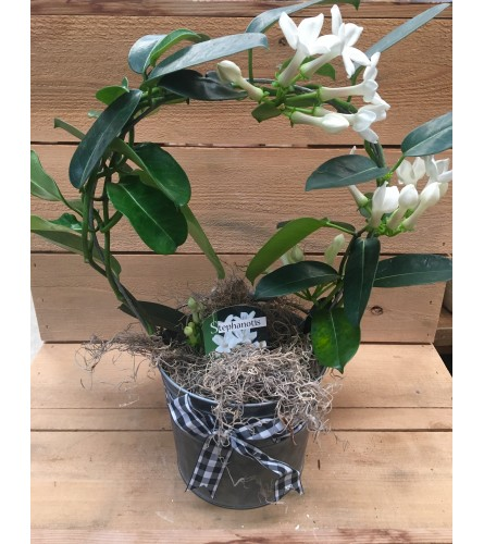 Stephanotis plant with bow and wrap