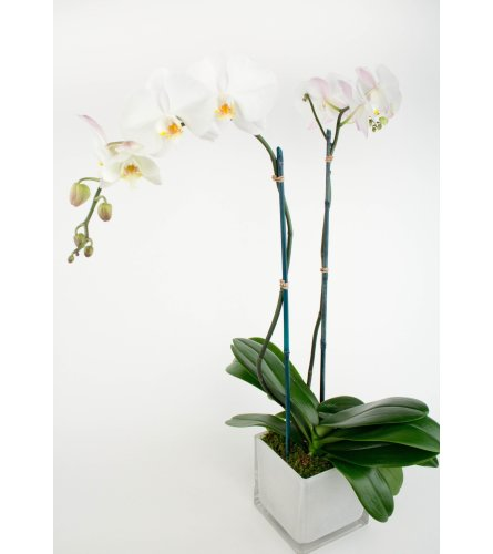 Phalaenopsis Orchid Double Stem