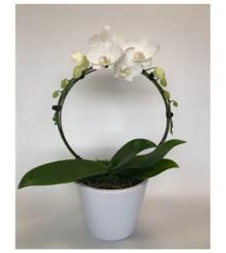Phalaenopsis Orchid Infinity Circle