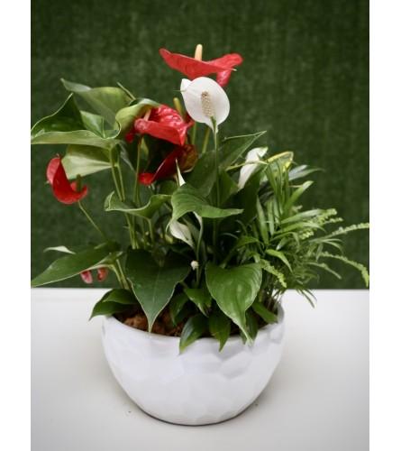 Red & White Elegance in Ceramic Pot