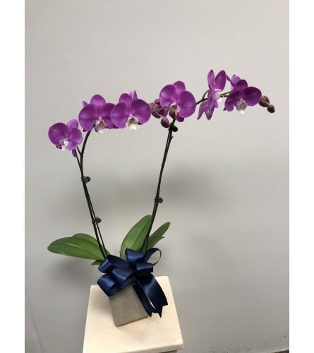 Medium Orchid in Ceramic