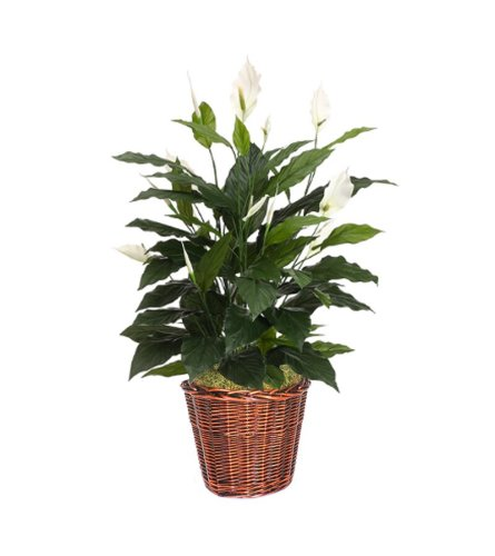 Elegant Peace Lily in a Basket