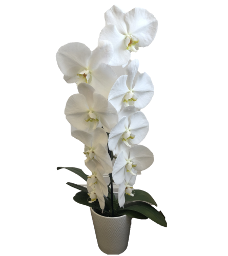 Waterfall White Orchid