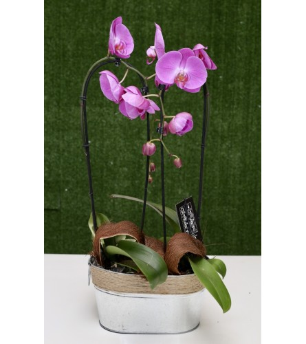 Wisdom and Health Double Orchid