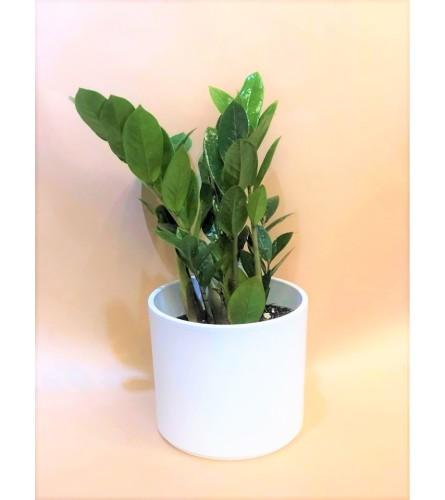 ZedZed Plant