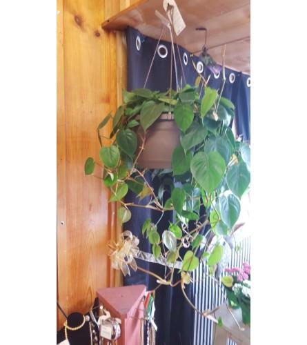 """Heartleaf Philodendron Hanging Basket 10"""""""