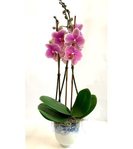 Blushing Orchid Plant