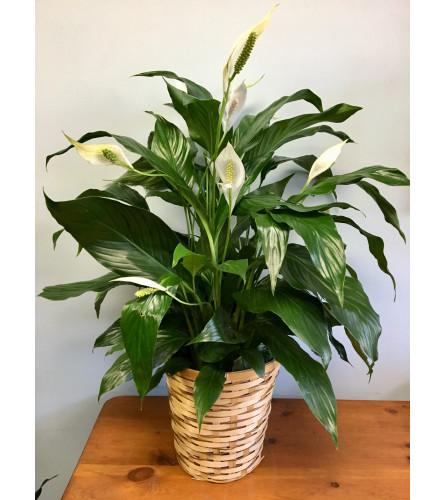 Standard Spathiphyllum Plant