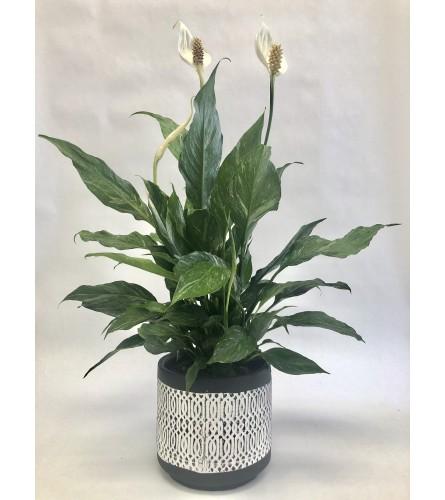 Variegated Spathiphyllum plant