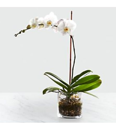White Orchid in Glass Cube