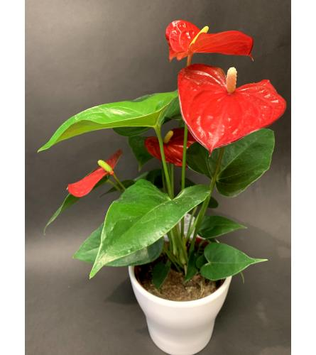 Antherium Plant 6 inch