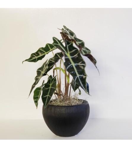 Alocasia Plant (alocasia-polly)