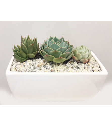 The Heart Company - Echevaria Collection