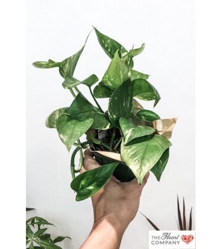 The Heart Company- Pothos (Money Plant)
