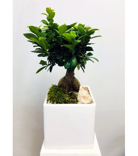 The Heart Company- Large Ginseng Ficus Bonsai