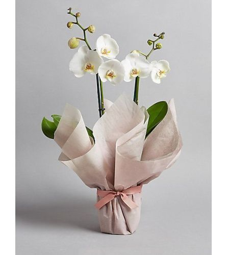 Peace Be Still - 2 Stem White Orchid
