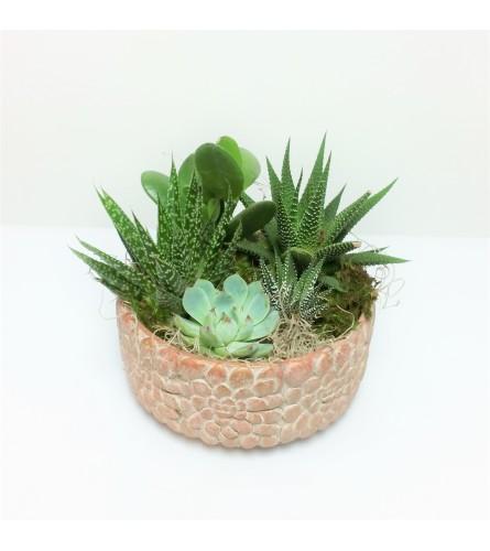 Sue's Succulent Stunner