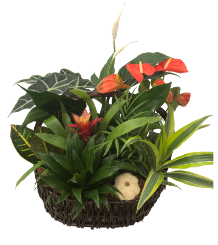 Extra Large Tropical Planter with Anthurium