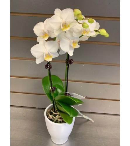 Mini Classic Orchid
