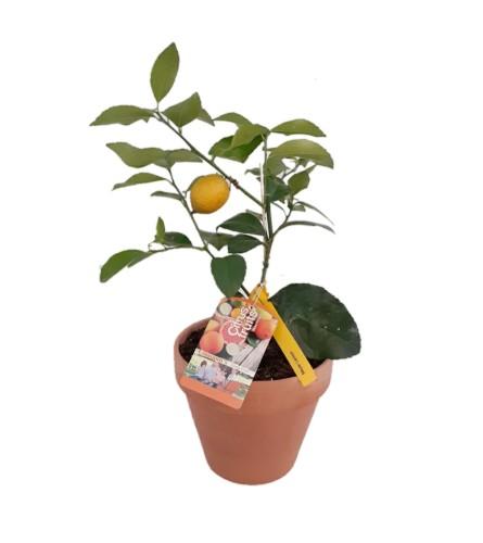 Citrus - Lemon Tree