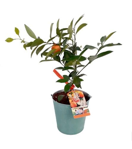 Citrus - Naval Orange Tree