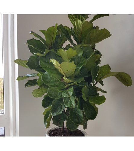 Premium Fiddle Leaf Fig