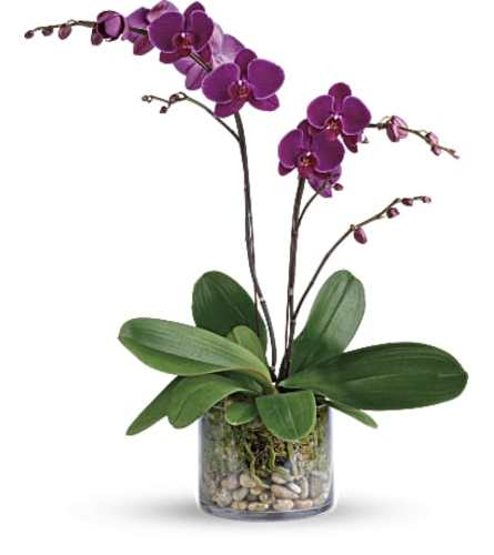 TF Glorious Gratitude Orchid