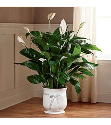 "8"" Comfort Planter with Peace Lily"