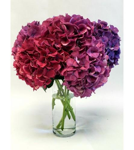 Purple Hydrangeas to Die For!