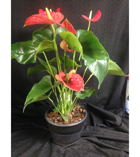 Lovable Hearts Anthurium Planter