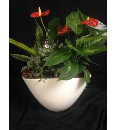 oval mixed anthurium planter