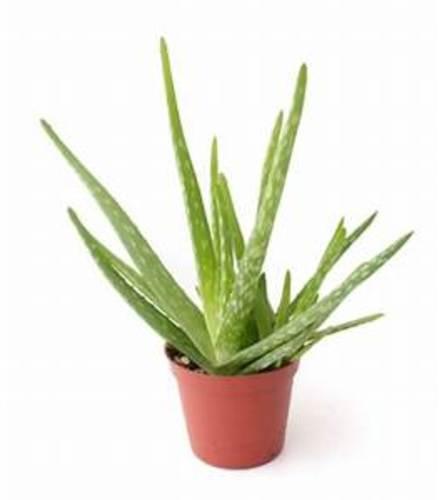 Aloe Plant pot