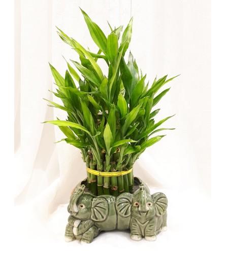 Lucky Bamboo in Elephant Vase