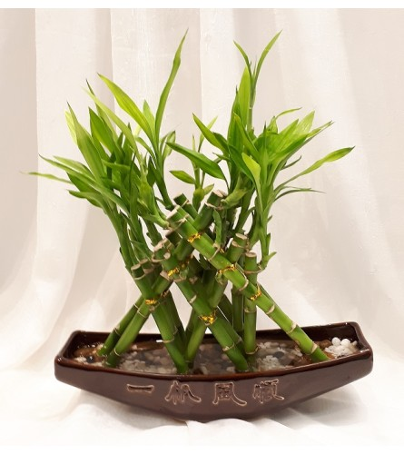 Lucky Bamboo in a Boat Vase