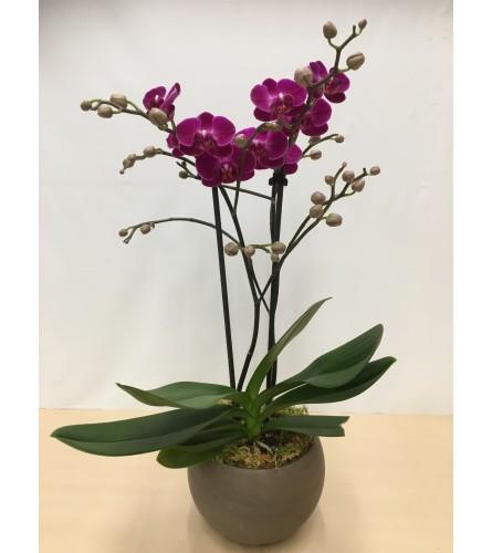 Purple Phaleanopsis Orchid