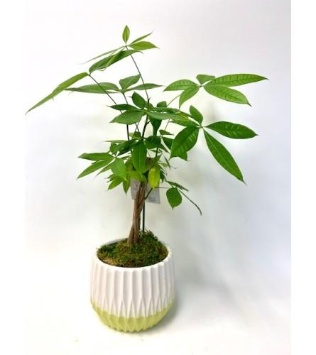 Petite Money Tree Plant