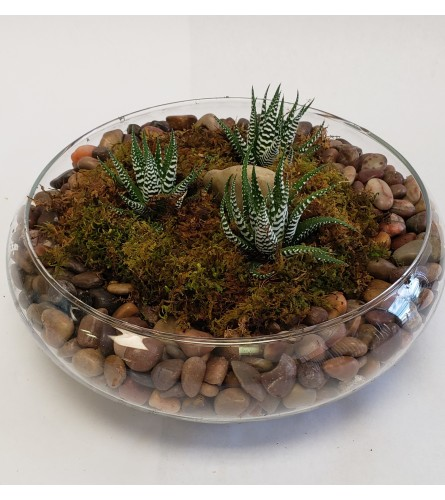 Haworthia Plant