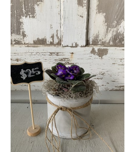 African Violet in Cement Planter