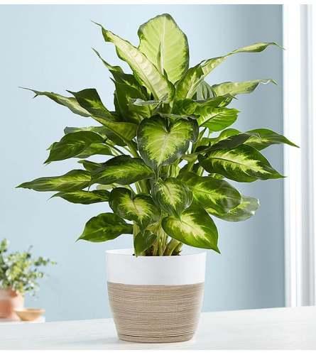 Dieffenbachia Plant (Dumb Cane)