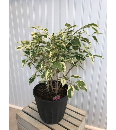 Potted Varigated Ficus