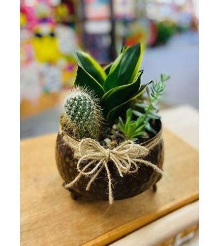 Cactus Garden - Individual Plants Vary
