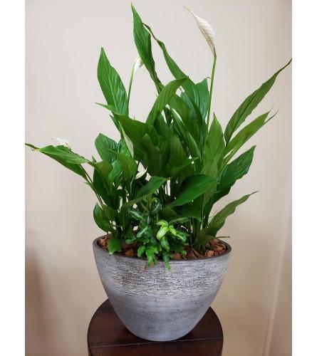 Elegant Peace Lily Tropical