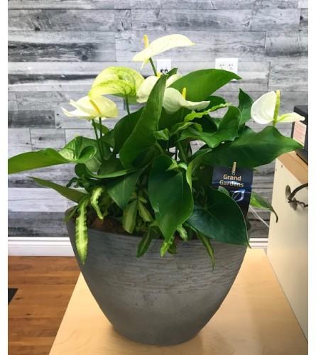 Lg Anthurium Planter