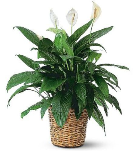 SPATHIPHYLLUM PLANT - PEACE LILY PLANT